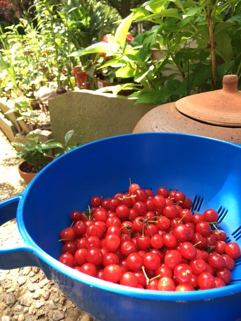 Cherry Harvest 5-29-17 IMG_0790