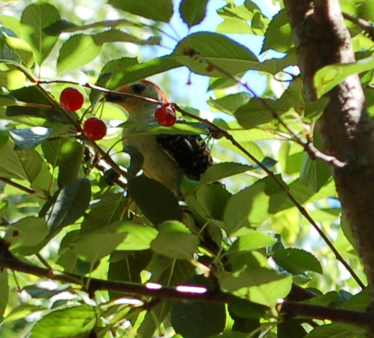 Red-bellied Woodpecker 6-9-17 DSC_0925