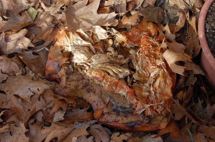 PumpkinSelfSows 3-12-17 DSC_0523