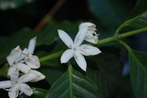 Coffee Bloom 5-2-17 DSC_0720