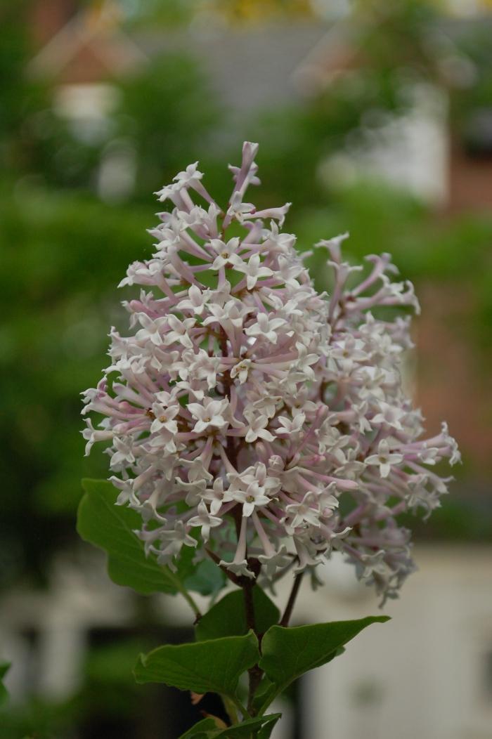 Lilac Dooryard 4-28-17 DSC_0661