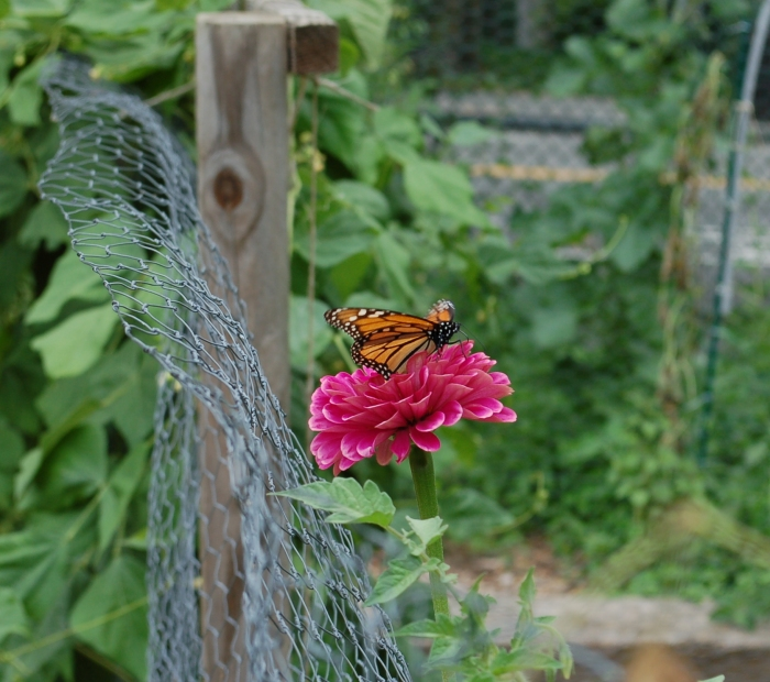 Monarch Twin Oaks Community Garden 8-3-17 DSC_1423