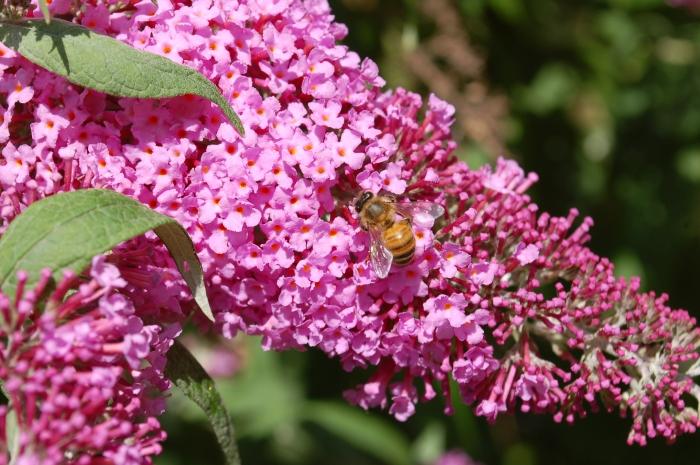 Bo Caldwell Bee on Butterflybush DSC_1107