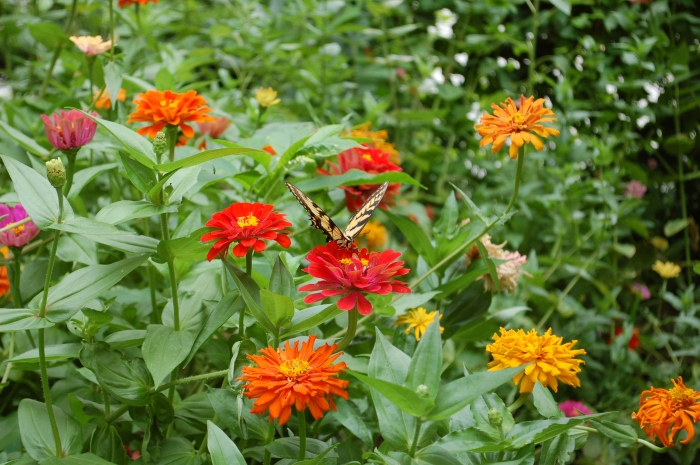 Swallowtail Zinnia Field July 27, 2017 4 DSC_1382