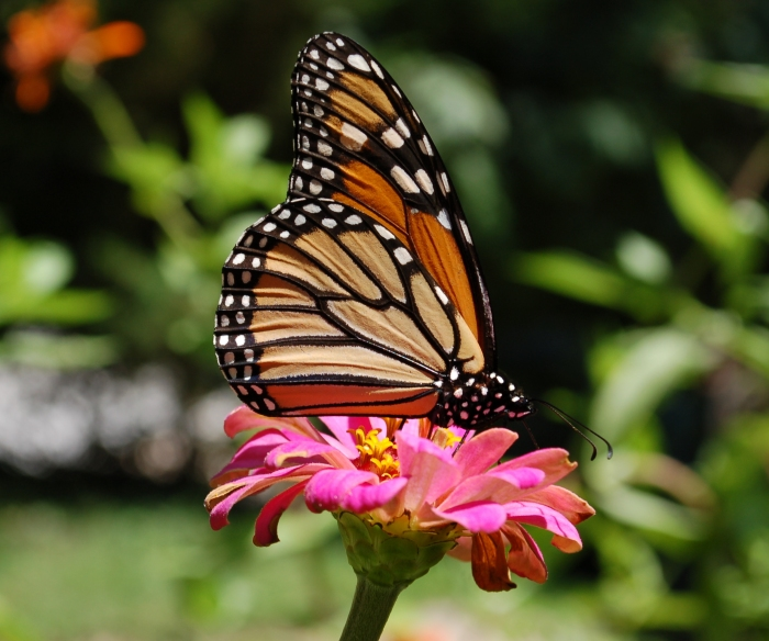August 15, 2017 monarch wades in pink zinnia Close DSC_1392