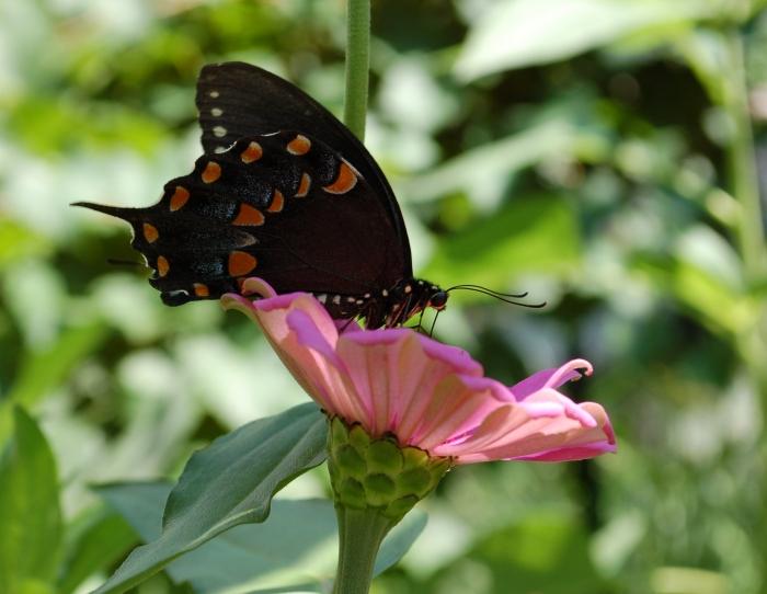 August 3, 2017 Black butterfly DSC_1393