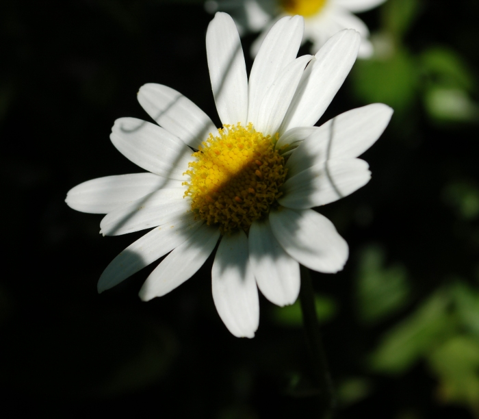 September 10, 2017 White daisy in grape shadow DSC_1389