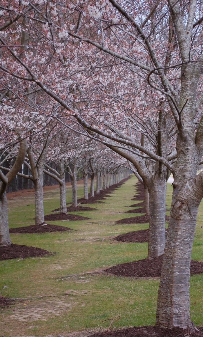 Miyazaki Cherry Blossom Tunnel DSC_1714