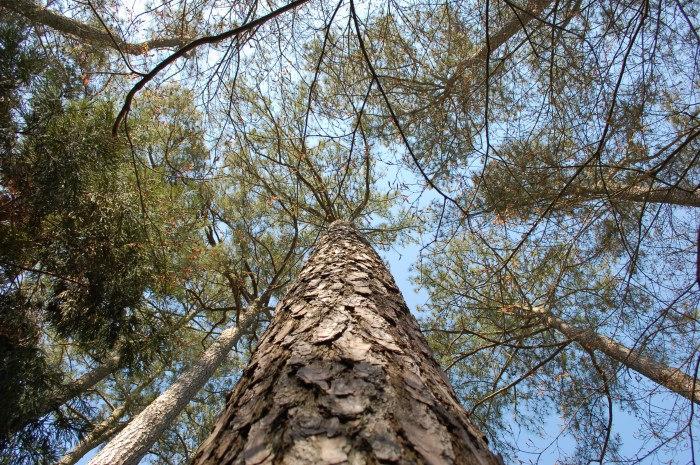 Miyazaki Pines DSC_1661