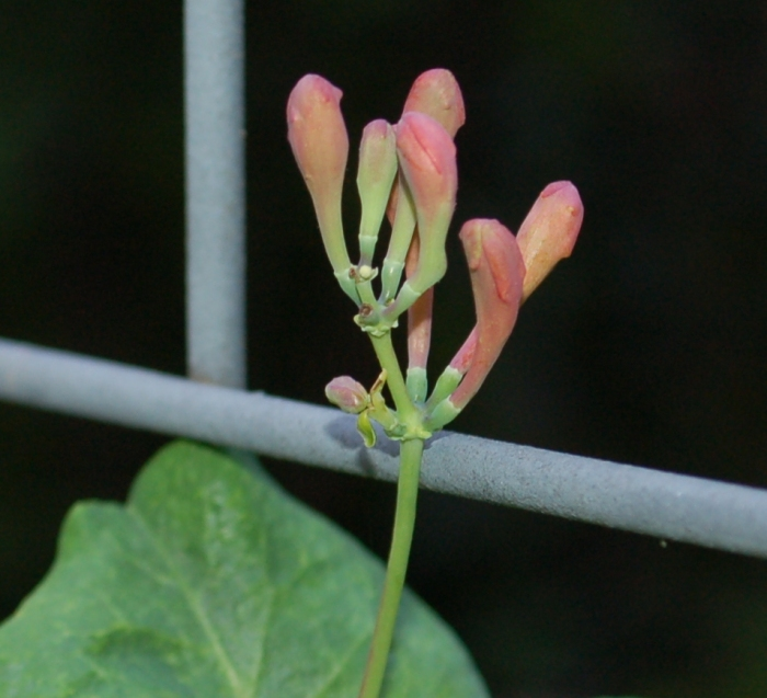 Trellis honeysuckle close 6-7-18 DSC_1680