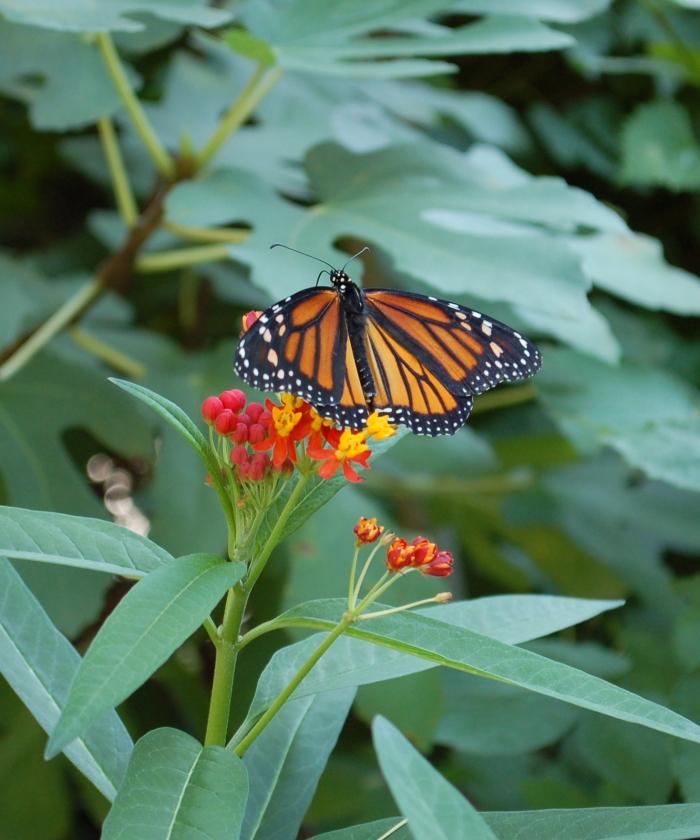 Monarch on Milkweed Big Copy 9-19-18 DSC_0039 copy