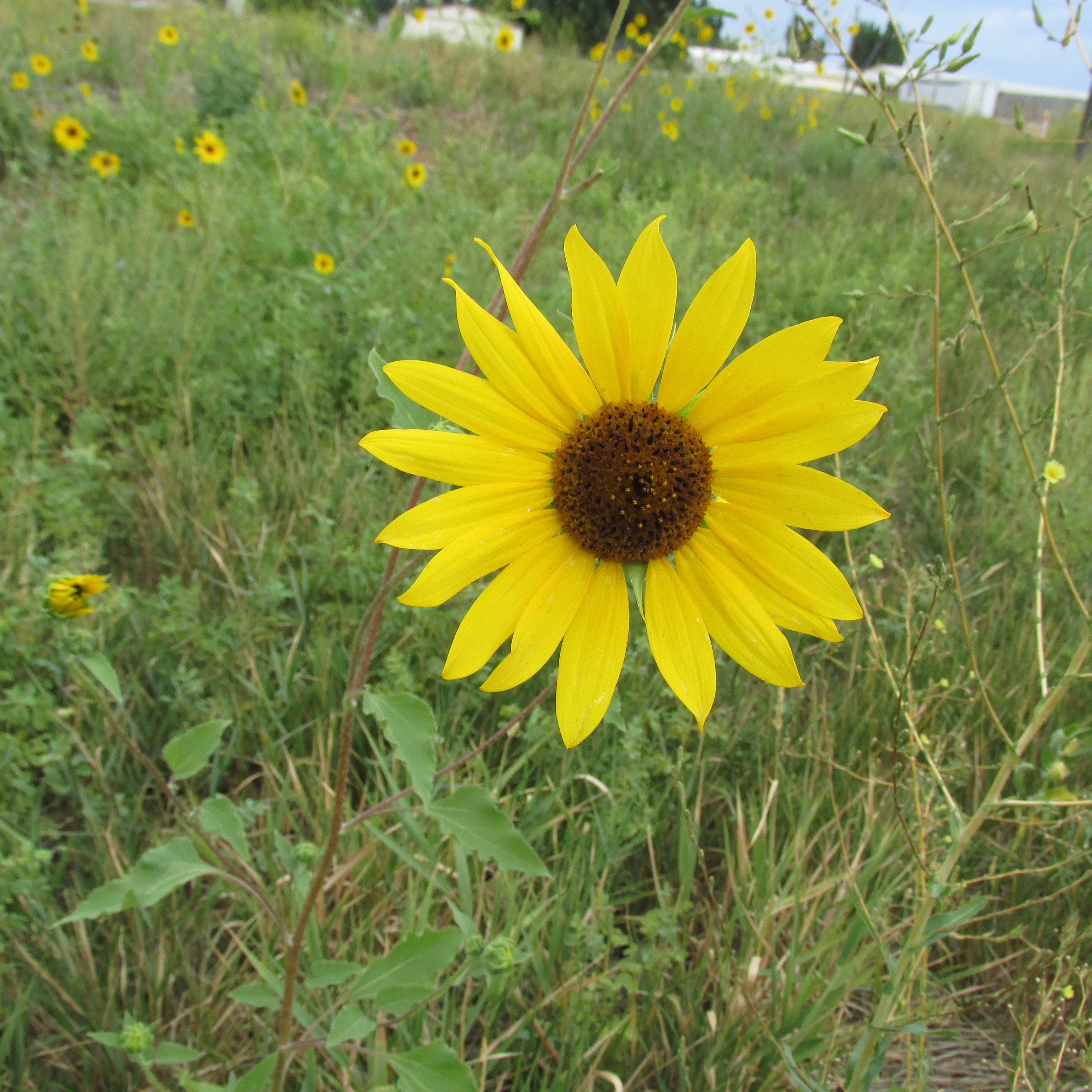 Sunflowers Utah 8-21-18 IMG_4161