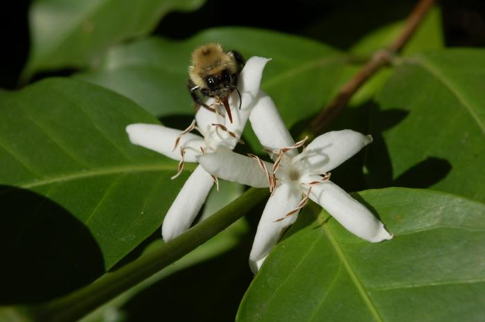 Bee Face Coffee Flower 6-23-19 DSC_0079