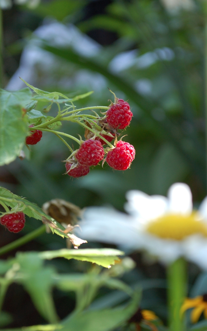 Ripe Raspberry 8-11-19 DSC_0334 2